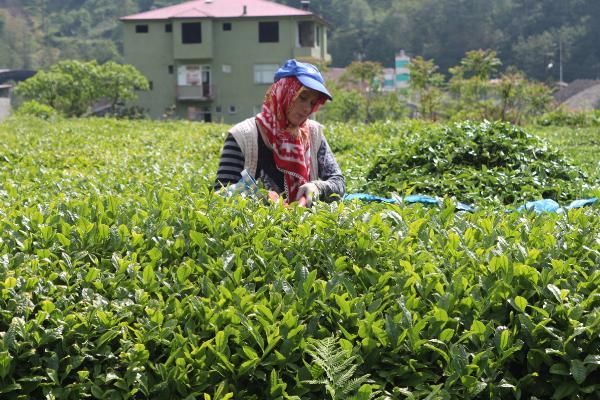 'Çay göçü' öncesi kritik 'vaka' uyarısı!