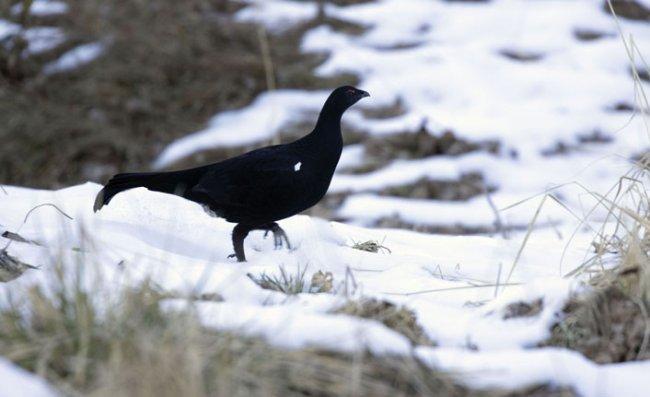 Kuş Gözlemcileri 'Dağ Horozu' İçin Doğu Karadeniz'e Geliyor
