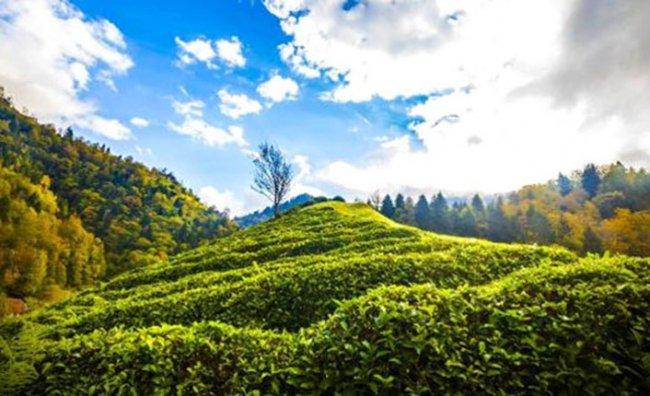 Çay Türküsü